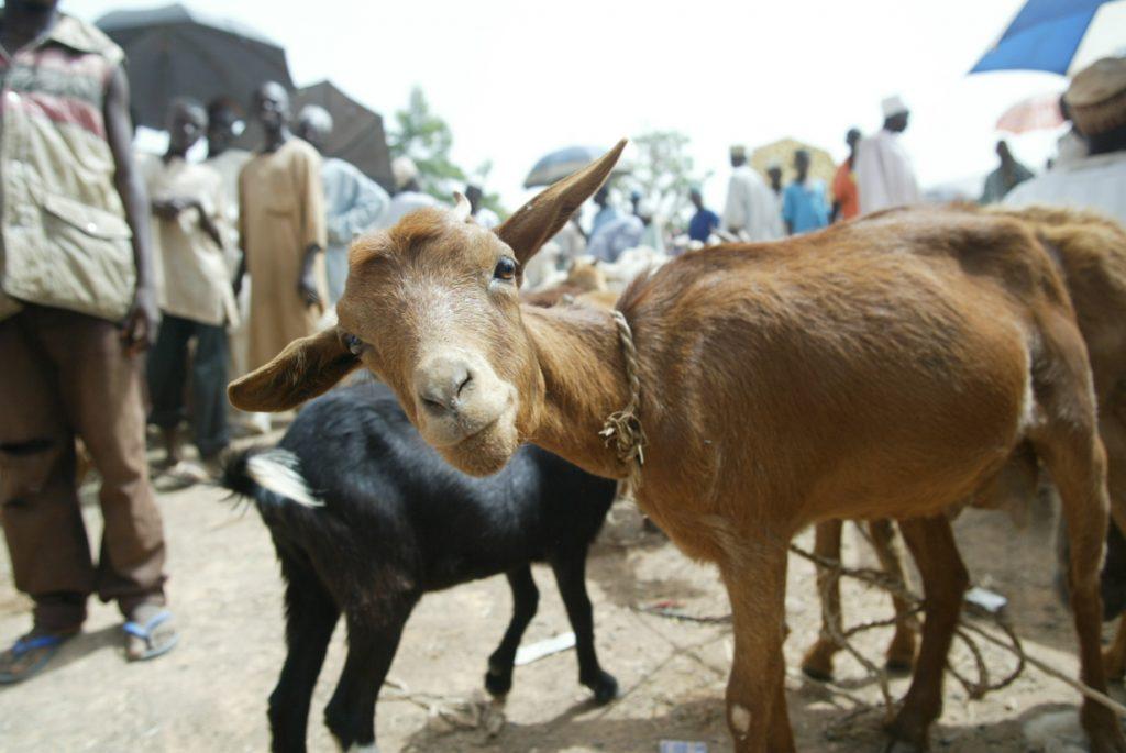 Goat in a market in Nigeria photo credit- ILRI Mann