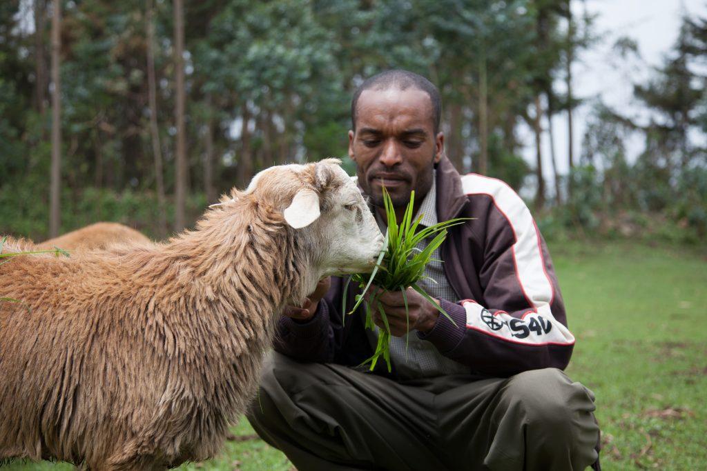 A livestock keeper feeds sheep, Doyogena, Ethiopia. Photo: Z. Sewunet (ILRI)