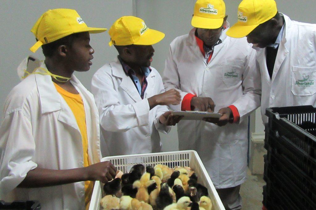 Researchers inspect day-old sasso chicks in Tanzania. Photo: ILRI